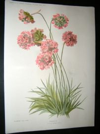 Amateur Gardening 1896 Botanical Print. Thrift